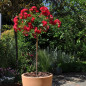Rosier Demi-tige semi-retombant Red DRIFT ® Meigalpio