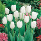 Tulipe simple hâtive WHITE PRINCE ®