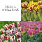 Collection de 30 Tulipes Triomphe