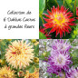 Collection de 6 dahlias cactus à grandes fleurs