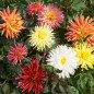 Collection de 15 dahlias nains cactus