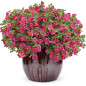 Calibrachoa SUPERBELLS ® Cherry Star