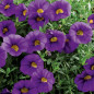 MILLION BELLS ® Trailing blue Sunbelkubu