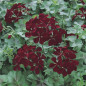 Géranium Lierre simple DARK RED BLIZZARD ® Fim 145