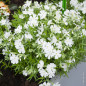Phlox nain 'White Delight'