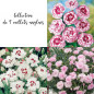 Collection de 9 oeillets anglais ou Dianthus plumarius