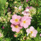 Potentille LOVELY PINK ® Pink Beauty