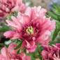 Pivoine hybride intersectionnel ou Paeonia X Itoh 'Hillary'