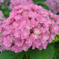 Hortensia macrophylla YOU & ME ® Together 'Youmefive'