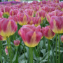 Tulipe Triomphe Boston