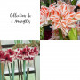 Collection de 2 Amaryllis