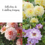 Collection de 6 Dahlias buissons