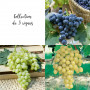 Collection de 3 vignes