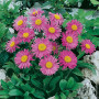 Aster nain Happy End, aster des Alpes rose ou Aster alpinus