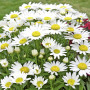 Leucanthemum Little Princess ou Marguerite naine