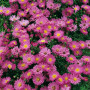 Aster nain rose d'automne ou Aster dumosus