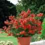 Lagerstroemia Petite Red Lilas des Indes