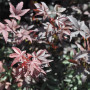 Erable du Japon ou Acer palmatum 'Skeeter's Broom'