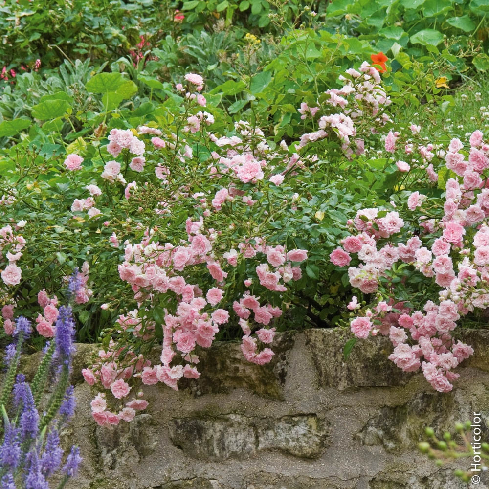 Rosier f rie the fairy rosiers paysagers meilland cor port buissonnant ou recouvrant - Quand couper les rosiers ...