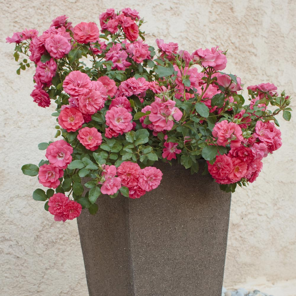 Rosier coral drift meidrifora rosiers paysagers - Quand tailler rosier tige ...