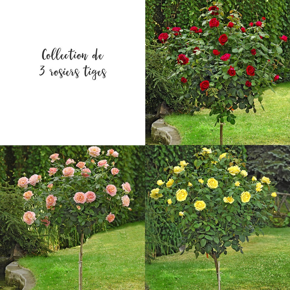 Collection 3 rosiers tiges rosiers offres sp ciales et - Initiatives fleurs et jardins catalogue ...