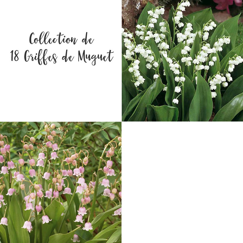 Comment Planter Du Muguet collection de 18 griffes de muguet