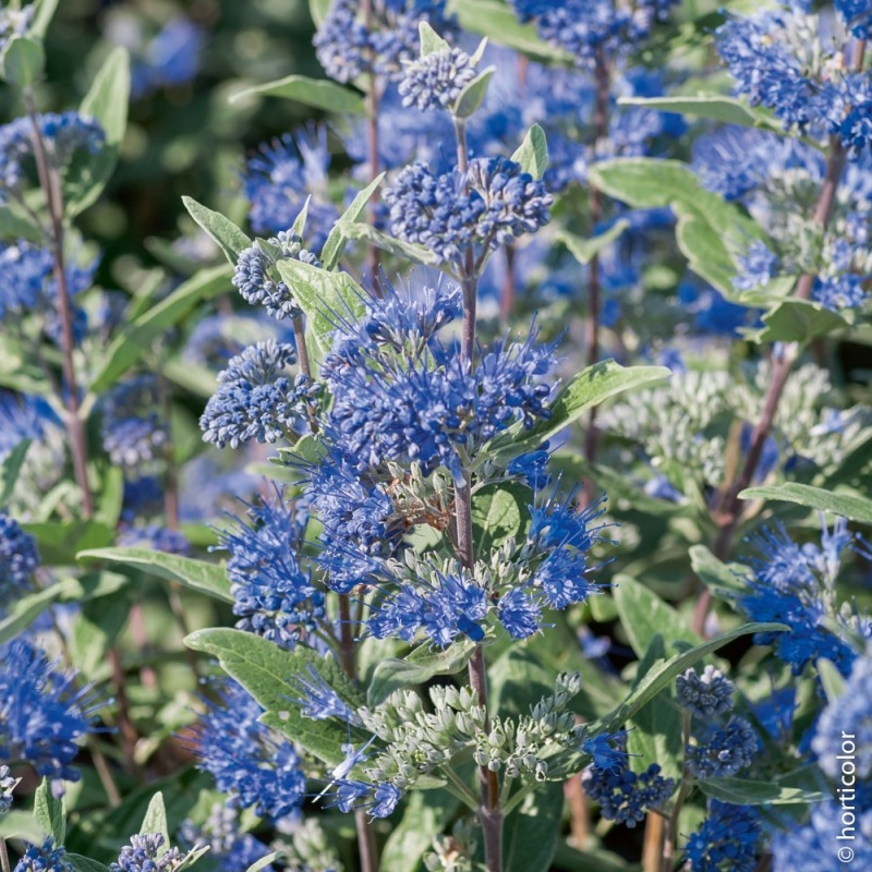 Caryopteris heavenly blue arbustes floraison estivale - Initiatives fleurs et jardins catalogue ...