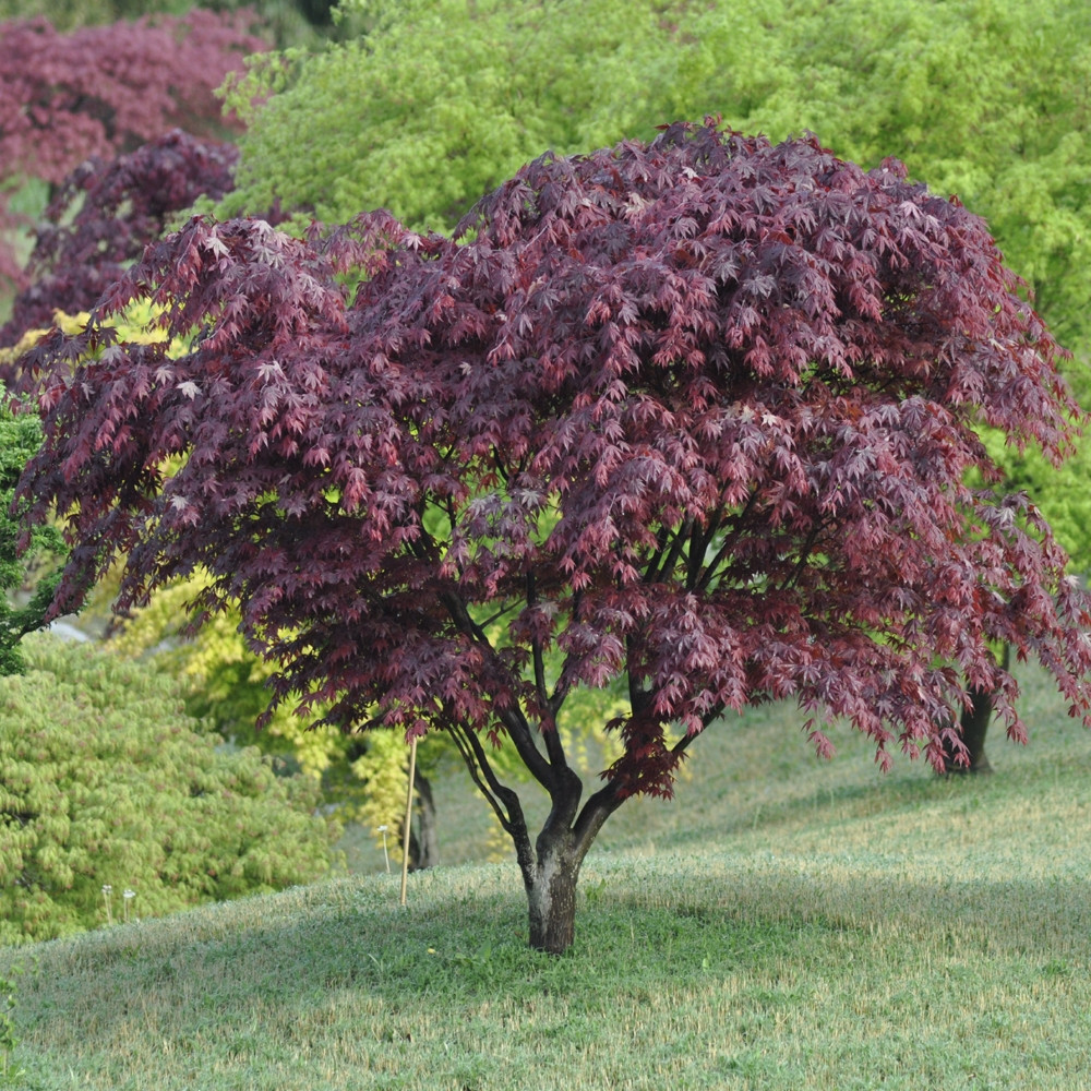 Erable Du Japon Petit erable du japon ou acer palmatum 'bloodgood'