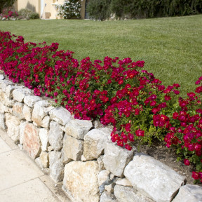 Rosier Red DRIFT ® Meigalpio