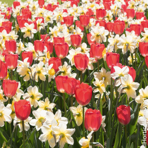 Assortiment Victoire : tulipe narcisse