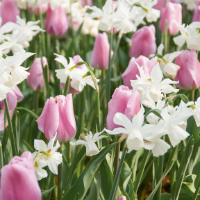 Assortiment Amore Tulipes + Narcisses