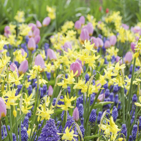 Assortiment Emma : tulipe muscari narcisse