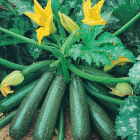 Courgette Belor HF1