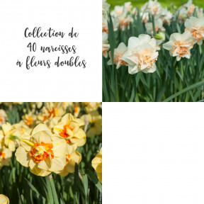 Collection de 40 Narcisses à fleurs doubles