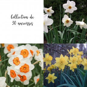 Collection de 30 Narcisses