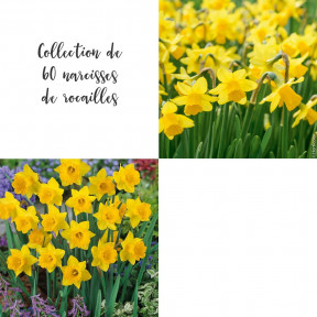 Collection de 60 Narcisses de rocailles