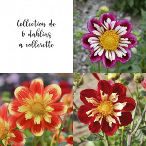 Collection de 6 dahlias à collerette