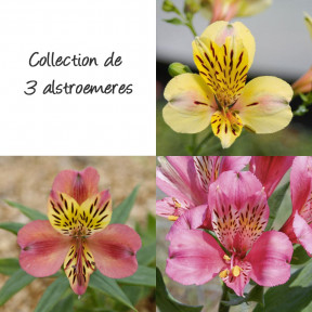 Collection de 3 alstroemères ou Lis des Incas