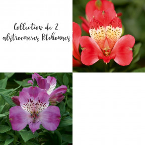 Collection de 2 alstroemères Pitchounes