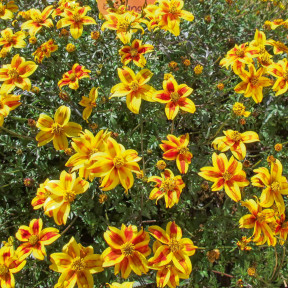 Bidens BEEDANCE ® PAINTED YELLOW Sunbidevb 4