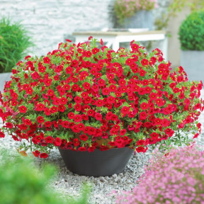 MILLION BELLS ® Red Sunbelre