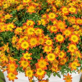 Bidens BEEDANCE ® PAINTED RED Sunbidevb 2