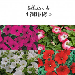 Collection de 4 Pétunias SURFINIAS ®