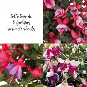 Collection 3 Fuchsias semi-retombants BELLA ®