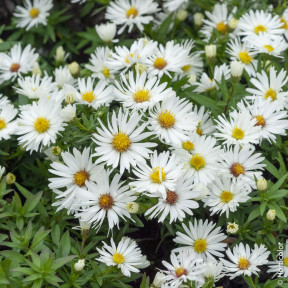 Aster nain d'automne 'Kristina' ou Aster dumosus