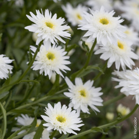 Leucanthemum maximum 'Wirral Supreme'