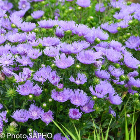 Stokesia laevis MELS BLUE ®
