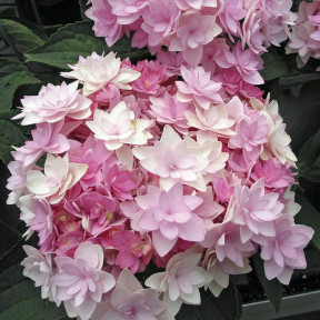 Hortensia macrophylla YOU AND ME ® Romance