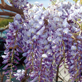 Glycine de Chine bleue Wisteria sinensis
