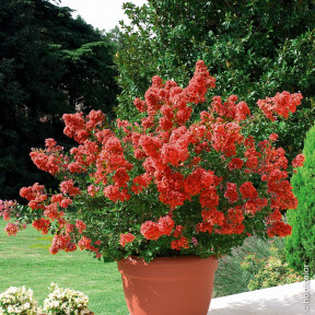 Lagerstroemia Petite Red, Lilas des Indes rouge